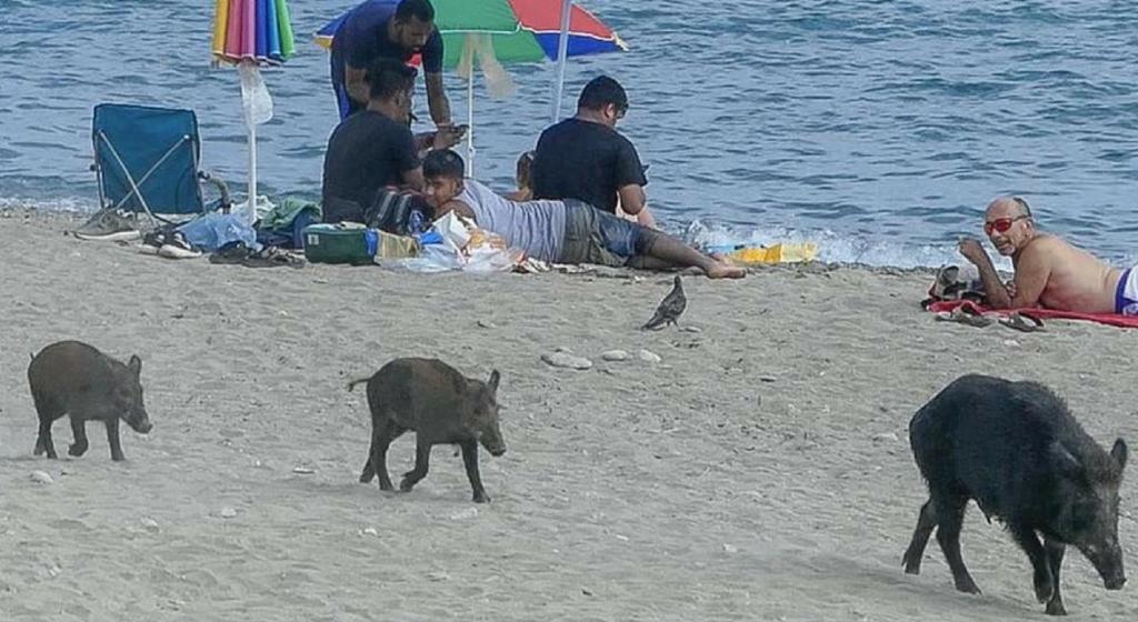 cinghiali spiaggia savona